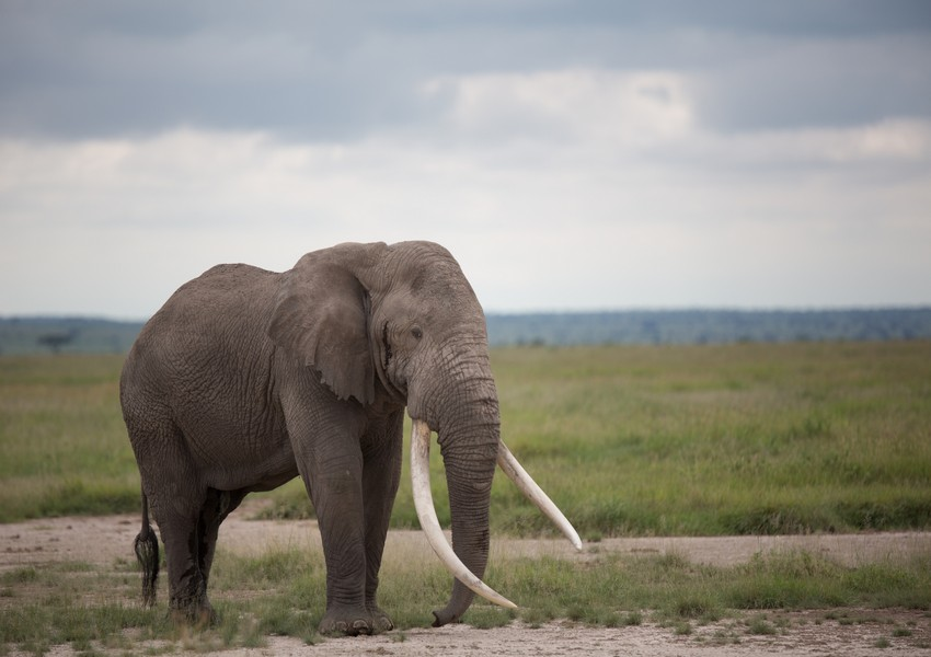 Big Elephant tusks
